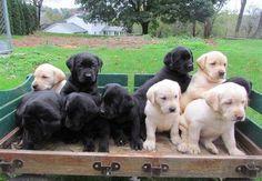 Labrador Retriever Welpen schokobraun mit Papieren