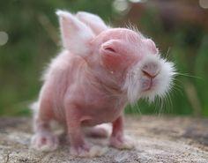 A small hairless rabbit. Hahahahahahahaha! This is the cutest/ugliest animal I have ever seen! He looks like an old Japanese sensei!
