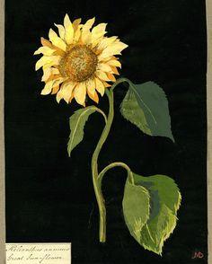 Artist Mary Delany
