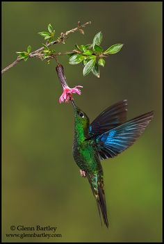 Nature Photography by Glenn Bartley. Great Sapphirewing - found in Bolivia, Colombia, Ecuador, Peru