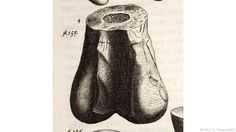 "The dinosaur bone Richard Brookes named ""Scrotum humanum"" (Credit: Paul D. Stewart/SPL) Dinosaur Time, Dinosaur Bones, Earth Homes, Bbc, Documentaries, British"
