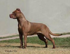 JAGUAR DO KALIB 12 months Breed ➡️ American Pit Bull Terrier cbkc From @canilkalibpit, Brazil American Pit, Pitbull Terrier, Pit Bull, Jaguar, 12 Months, Brazil, Dogs, Animals, Pitbull