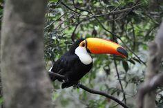 Tucano, Animal De Estimação, Animais Tropical, Birds
