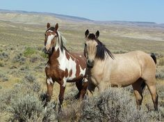 picasso and one of his mares at Sand Wash Basin wild horse Preserve.