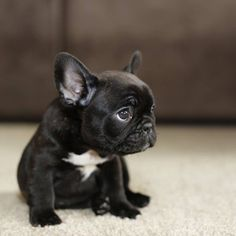 French bulldog puppy, he looks like he did something very naughty!