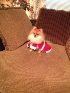 Pomerian for Christmas!
