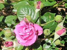 In the Garden: Having trouble with roses? Here are some helpful tips
