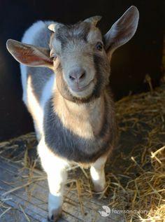 Goat smiles melt my heart...
