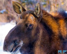 Moose Shubie 2  - All of my photos/designs look MUCH better when viewed Large on my flickr site at - http://www.flickr.com/photos/sizzler68/ - © Rodney Hickey Photography 2015