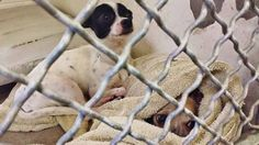 When this tiny, 10 year old terrified angel was put in the kennel, BATMAN had to act like a super hero and fight through his own fear to make this new guy feel safe. They are adorable and so very scared. Please SHARE the shelter is full and they are going to start making space. A FOSTER or Adopter would save their lives. Thanks!  #A4842941 I'm an approx 10 year old male chihuahua sh at the Carson Animal Care Center since June 13, 2015.  You can visit me at my temporary home at C241.