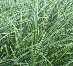 Carex morrowii 39 ice dance 39 ice dance sedge versatile for Ornamental grasses that grow in shade