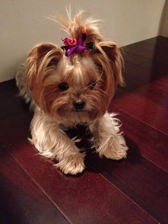 Just the cutest and most precious little Yorkie.