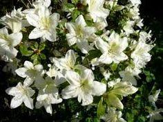 """Azalea japonica """"Palestrina""""  (A.M.)"""