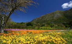Kirstenbosch Botanical Gardens is located in Cape Town & is one of South Africa's eight national botanical gardens. Founded in 1913 with the purpose of preserving the unique flora of the area. Famous Gardens, Amazing Gardens, Beautiful Gardens, Beautiful Landscapes, Cape Town Tourism, National Botanical Gardens, Parcs, Nature Photos, Beautiful Beaches