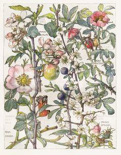 Wild Rose -Flower Botanical Print by Isabel Adams - Antique Print
