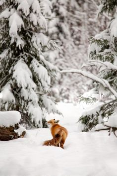 Red fox in the winter woods