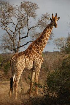 Your African Safari African Giraffe, African Animals, African Safari, Giraffe Art, Cute Giraffe, Giraffe Pictures, Animal Pictures, Jungle Animals, Cute Animals