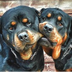 I Love Dogs, Cute Dogs, Animals And Pets, Cute Animals, Positive Dog Training, Rottweiler Puppies, Beagle, Spaniel Puppies, West Highland Terrier
