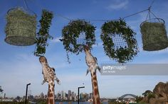 A tower of giraffes graze on food during birthday celebrations at Taronga Zoo on October 7, 2016 in Sydney, Australia. Today marks exactly 100 years since the Zoo first opened its gates in Mosman on 7 October, 1916.
