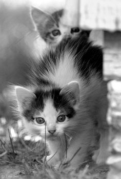 Feral Kittens allowed to live Feral Kittens, Kittens And Puppies, Cute Cats And Kittens, Kittens Cutest, Ragdoll Kittens, Tabby Cats, Funny Kittens, Bengal Cats, Pretty Cats