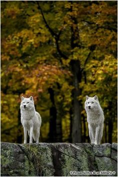 Wolf Revier #wolf_revier #animals #nature #wilderness #wildlife #wolves #pup #puppy #pack #white #grey #black #wild #life #gracefull #photo #photograpy #animal_welfare #in_line