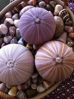 """One cannot collect all the beautiful shells on the beach."" Anne Morrow Lindbergh (with only a few exceptions, all ""shells"" belong to someone else) Sea Urchin Shell, Sea Shells, Sea Urchins, Shell Beach, Ocean Beach, Bts Birthdays, Am Meer, Ocean Life, Marine Life"