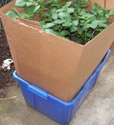 Growing Potatoes in Containers 101
