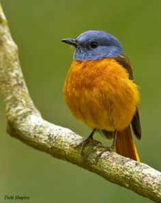 The Amber Mountain Rock Thrush (Monticola sharpei erythronotus) is a songbird in the family Muscicapidae. It is endemic to Madagascar.