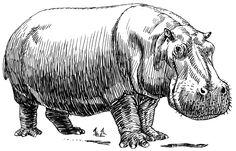 hippopotamus - Google Search
