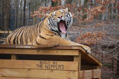 Doc & Anne got a new house recently. It's still a little chilly out, so Anne's inside napping, while Doc lounges around on the rooftop. :-)  www.noahs-ark.org  #tiger #bear #noahsark #CatOnTheRoof