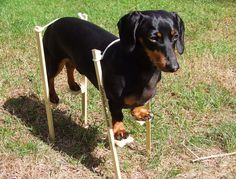 The Original Dachshund On Stilts Dachshund Stilts Crusoe
