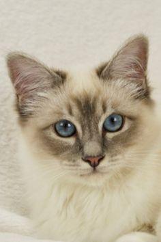 Cats and Kittens by SábaCat Birman Beauty Birman Cat Breeders, Cattery, Cats And Kittens, Kitty, Animals, Beauty, Gatos, Pets, Little Kitty