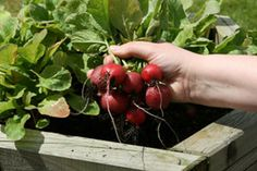 Container Gardening - Grow your own food in small spaces.