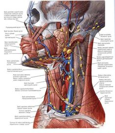 Lymph Vessels and Nodes of Head and Neck Anatomy Superficial parotid nodes (deep parotid nodes deep to and within parotid gland) . Anatomy Head, Anatomy Of The Neck, Human Body Anatomy, Human Anatomy And Physiology, Muscle Anatomy, Arte Com Grey's Anatomy, Lymphatic Drainage Massage, Medical Anatomy, Physical Therapy