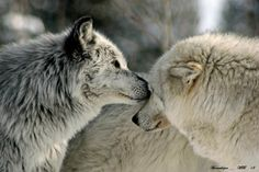 Beautiful Wolves, Animals Beautiful, Cute Animals, Crazy Animals, Beautiful Children, All About Wolves, Wolf Life, Wolf Stuff, Howl At The Moon