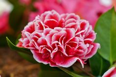 """Camellia japónica """"Leonor Magariños"""""""