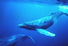 Le bruit des moteurs de bateaux perturbe les baleines