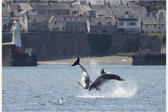 Stunning photographs capture a playful pod of dolphins near Newlyn and Penzance in Cornwall on 11th July 2014
