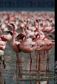 Greater Flamingos, Lake Nakuru