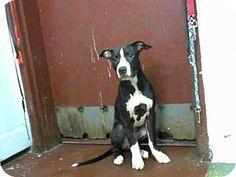 Atlanta, GA - American Pit Bull Terrier. Meet DAVE, a dog for adoption. http://www.adoptapet.com/pet/16359480-atlanta-georgia-american-pit-bull-terrier