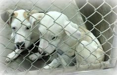 ~~ODESSA~ URGENT~Lab mix males less than 4 months old ~get these puppies out NOW before they get sick! ~Kennel A17~ Available NOW ****$35 to adopt Located at Odessa, Texas Animal Control. Must have a valid Drivers License and utility bill with matching address to adopt. They accept Credit Cards, cash or checks. We ARE NOT the pound. We are volunteers who network these animals to try and find them homes. Please send us a PM if we can answer any questions for you
