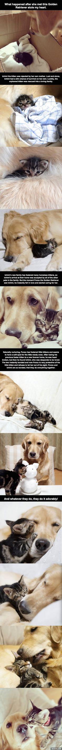 Golden retriever bonding to rejected kitten to keep it safe.. awwwww melted my heart