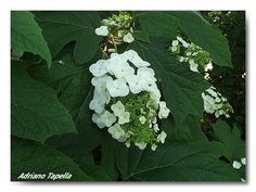 Nome scientifico: Hydrangea quercifolia   Famiglia : Hydrangeaceae