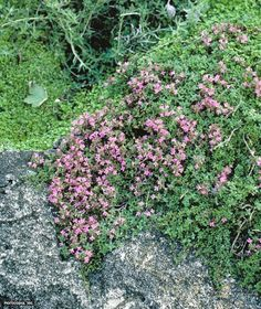 Wild Thyme (Thymus serpyllum) Thymus Serpyllum, Drought Resistant Plants, Midsummer Nights Dream, Dream Garden, Hgtv, Herbs, Flowers, Herb, Royal Icing Flowers