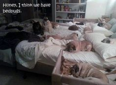 I think we have bed-pugs