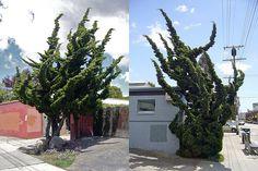 """Hollywood"" juniper (Juniperus chinensis 'Kai-zuka', a.k.a. J. chinensis 'Torulosa')"