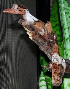 Henkel's Leaf Tailed Gecko - (Uroplatus henkeli) from Madagascar. Picture and animal by Jordan Russell.
