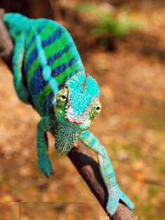 Some chameleon species are able to change their skin coloration. Different chameleon species are able to vary their coloration and pattern through combinations of pink, blue, red, orange, green, black, brown, light blue, yellow, turquoise, and purple