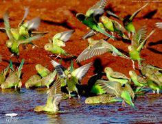 Australia  (via PBS-Nature, Parrots in the Land of Oz)