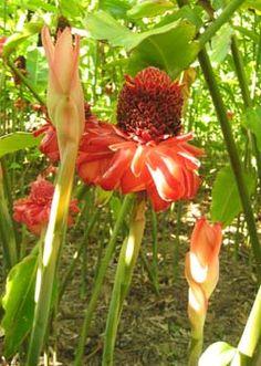 Etlingera elatior   - Inflorescences, in bud and mature